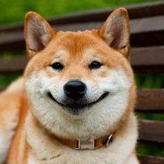 'Pleased as pie. And cake. Or cookies. Even ice cream' - Smiling Shiba Inu Dog