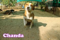 Chanda is really a sweetheart. She never walks but always run to get your attention.