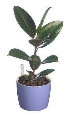 der gummibaum ist gengsam und wchst auch in schattigen pltzen wenn auch langsamer - Wohnzimmer Pflanzen Schattig