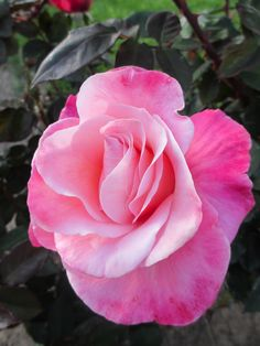 Rose. pretty, i like how there are diff shades of pink, looks like tie dye pink