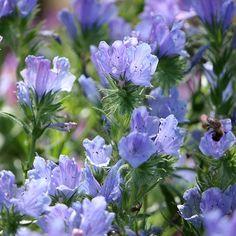 Gekauft: Natternkopf 'Blue Beddar', Samen, sonnig bis halbschattig, bis 40 cm hoch, blüht 6 - 8