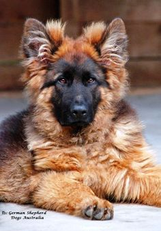 German Shepherd Dogs Australia https://www.facebook.com/German.Shepherd.Dogs.Australia?hc_location=timeline