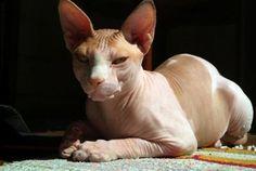 """O Sphynx, não é fruto de manipulações genéticas. O gene responsável pela sua """"careca"""" é hereditário e recessivo e existe em algumas raças de gatos."""