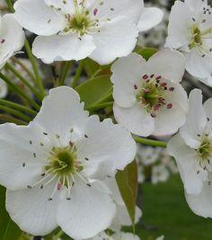 Flor del membrillo Yamaguchi Pamplona
