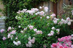 http://rosomanes.blogspot.co.uk/2010/12/my-english-roses.html Heritage rose