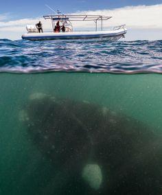 Turistas se assustam com baleia de 50 toneladas debaixo de barco - Fernando Moreira: O Globo