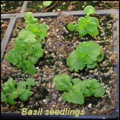 Seed Starting 101: Seedling Heat Mats and Inexpensive Alternatives