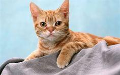 Scarica sfondi blanket, gatto rosso, pet, posa