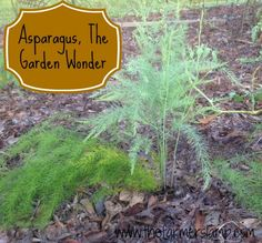Asparagus is the most worry free perennial plant there is for the home gardener. We will be talking about bed preparation/selection, transplanting, harvesting, mulching, and propagating of the asparagus.