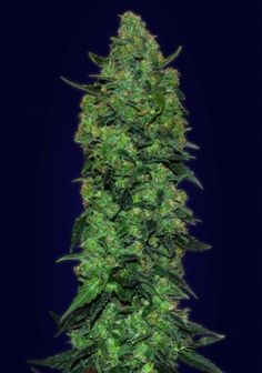 Auto Skunk Mass Feminised Seeds by the cannabis breeder Advanced Seeds, is a Autoflowering Feminised marijuana strain. These seeds germinate in 60-70 days in April - November.This Feminised seed grows well in Indoors, Outdoors conditions. Additionally it can be expected to grow into a Medium, Tall plant reaching 80-120 cm.This strain has Critical Mass x Skunk #1 Genetics. It has a Medium (10-15%) THC Content. The CBD content of the strain is Unknown.