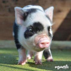 petpiggies (micro-pigs-petpiggies) | Cute Overloads