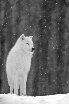 White Wolf...make as a photo edit for riding hood picture.....