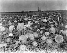 1886:  Pumpkin harvest in the San Fernando Valley.