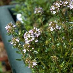 Remedy of The Day: Winter Savory. All-year-round help for digestive disorders but not during pregnancy #herbs #remedieshttp://www.frannsalthealth.com/blog/winter-savory-health-benefits/