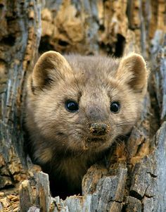 Pine Marten  Did you know that Pine Martens are in the mustelid or weasel-like mammal family? Martens are related to mink, otters, badgers, wolverines, weasels, and skunks.