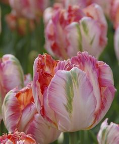 Parrot Tulip Apricot Parrot--A four-time award-winner, fragrant Apricot Parrot is soft apricot-yellow with tinges of creamy-white, yellow, salmon-pink and green.