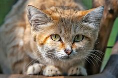 Another sand cat!