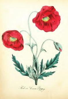 red or corn poppy