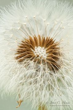 Dandelion Macro | ©John C. House. It's the little things in life that let us glimpse the magic all around us.