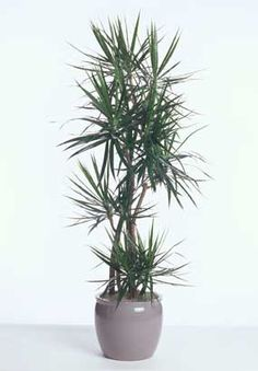 The Dracaena marginata is a member of the Dracaena family (Liliaceae), a family that provides some of the most durable plants used indoors in offices building, hotels and malls but also as an everyday house plant. The marginata is probably the most versatile of all the Dracaenas... #fal #spr #sum