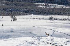 Neve, che spettacolo: nel parco di Yellowstone tra volpi, bisonti e coyote