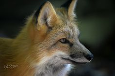 Red Fox by Nicolas Linder on 500px
