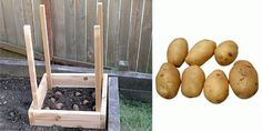 How to Grow 100 Pounds of Potatoes in 4 Square Feet. They're fairly low maintenance, can be grown in a pot or in the ground, last a fairly long time if stored properly, and can be very nutritious (high in potassium and vitamin C). Vegetable Garden, Garden Plants, Balcony Garden, Organic Gardening, Gardening Tips, Potato Gardening, Urban Gardening, Edible Garden, Garden Planning