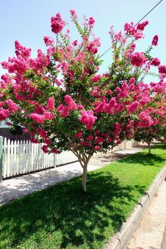 Crepe myrtles are among the world's best flowering trees.They are native to eastern Asia and are hardy in most parts Crepe myrtles are among the world's best flowering trees.They are native to eastern Asia and are hardy in most parts Garden Shrubs, Garden Trees, Lawn And Garden, Trees To Plant, Lagerstroemia, Small Backyard Landscaping, Landscaping Ideas, Backyard Ideas, Crepe Myrtle Landscaping
