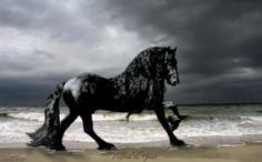 ヨーロッパ森林馬の交配種でオランダ北部、フリースラント州が原産地とされる、フリージアン・ホースはつややかで漆黒の青毛(全身真っ黒で最も黒い毛色のこと)を持ち、長いたてがみと尾、引き締まった筋肉ボディが古代ギリシャの彫像のように美しいと絶賛されている馬である。    そんなキングオブキングの品種、フリージアン・ホースの中にあって世界一のイケメン(イケウマ)であると絶賛されているのが、アメリカ、オザーク高原の牧場にいるザ・グレート・フレデリック(通称フレデリック)だ。