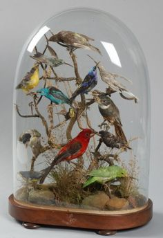 Taxidermy display. Glass dome display case with taxidermy scarlet tanager, jacamar, hummingbirds, honeycreepers and parrot. Date 1900.