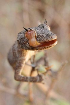 Northern Spiny-tailed Gecko (Strophurus ciliaris) by reptile street photographer, via Flickr