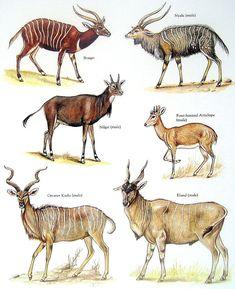Antilopes Kruger National Park