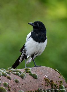 Magpie. Australian magpies differ in that they have more black than white.