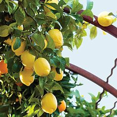 best crops for your edible garden | Lemon | 'Eureka' is aptly named; this lemon tree rarely without gorgeous yellow fruits in the right climates; it literally bears all year.    The standard market variety, it grows 20 feet tall. As a dwarf, it's a dense tree with large dark leaves. Zones 8,9,12-24, H1, H2.