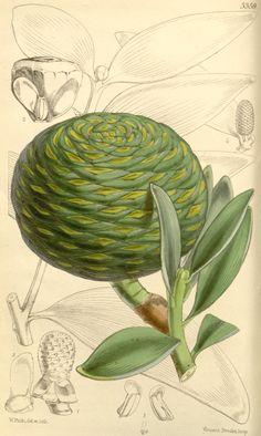 Dammara orientalis. Curtis's botanical magazine. v.89 [ser.3:v.19] (1863) London ;New York [etc.] :Academic Press [etc.] Biodiversitylibrary. Biodivlibrary. BHL. Biodiversity Heritage Library