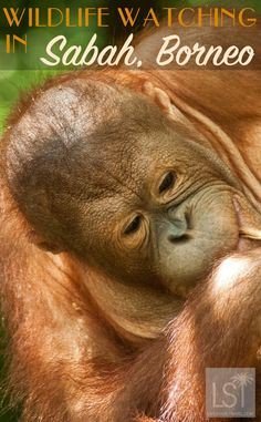 Wildlife watching is one of the highlights of a trip to Sabah, Borneo. >> So many cute animal picks in this story.