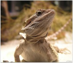 Bearded Dragon by John Fries