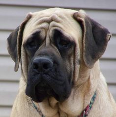 Our next pup is an English Mastiff! Joey doesn't know it yet... but it's going to happen! ~ Large Dog Costumes Wanted!