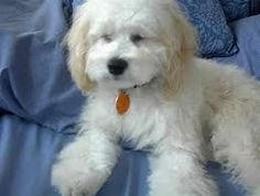 Maltipoo as Adults | Maltipoo - Adult & Puppy Pictures, Size, & Temperament