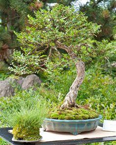 Heckenkirsche (Lonicera nitida) als Bonsai-Baum