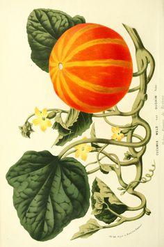 Botanical - Flore des Seres et Des Jardins de L'Europe - Pumpkin (Cucumis melo)