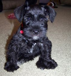 """miniature schnauzer puppy so darling and a name to match""""Qbert"""" OMG what a cute name"""