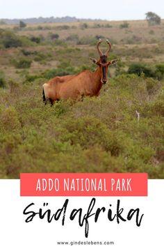 Addo Elephant Park Südafrika. Der Addo Nationalpark ist der größte Nationalpark im Ostkap und der drittgrößte Park Südafrikas. Unsere Big Five Safari im Addo Nationalpark. Auf eigene Faust durch den Addo Elephant National Park. Informationen, Highlights, Tipps und welche Tiere wir gesehen haben. Mehr zum Addo Nationalpark und zu Südafrika auf www.gindeslebens.com #Südafrika #Addo #AddoElephantPark #BigFive #Safari #SüdafrikaSafari Tromso, Addo National Park, National Parks, Elephant Park, Tricks, Gin, Highlights, Inspiration, Outdoor