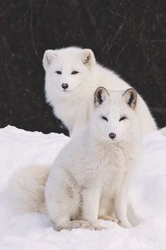 Arctic Foxes | Photographer- (via togivelifeameaning) - Source: envyavenue