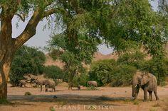 Pachypodium tree, Pachypodium namaquanum, Richtersveld National Park, South Africa