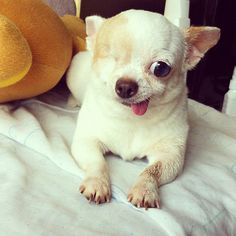 Yogurt the Pirate Dog doesn't need two eyes to recognize her cuteness. Cute Baby Animals, Animals And Pets, Funny Animals, Tiny Puppies, Cute Puppies, Pet Dogs, Dog Cat, Rescue Dogs, Doggies