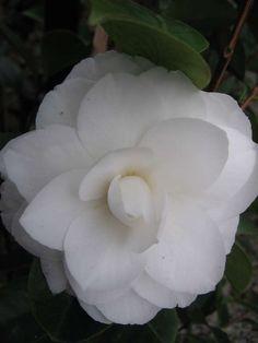 Camellia japonica 'Pope John XXIII' — Warners Nurseries