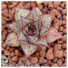 Echeveria purpusorum white form, succulent not variegated, Haworthia, conophytum | eBay