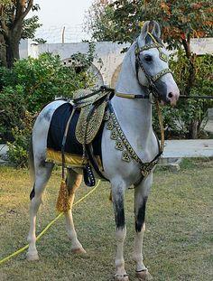 Marwari horse from Pakistan Pretty Horses, Beautiful Horses, Akhal Teke Horses, Breyer Horses, Rare Horse Breeds, Horse Armor, Horse Facts, Horse Costumes, Barrel Racing Horses
