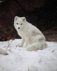 Beautiful Arctic fox!